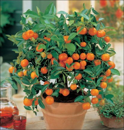 indoor orange trees for home office