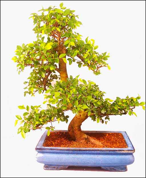 small indoor trees for the home